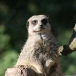 meerkat1